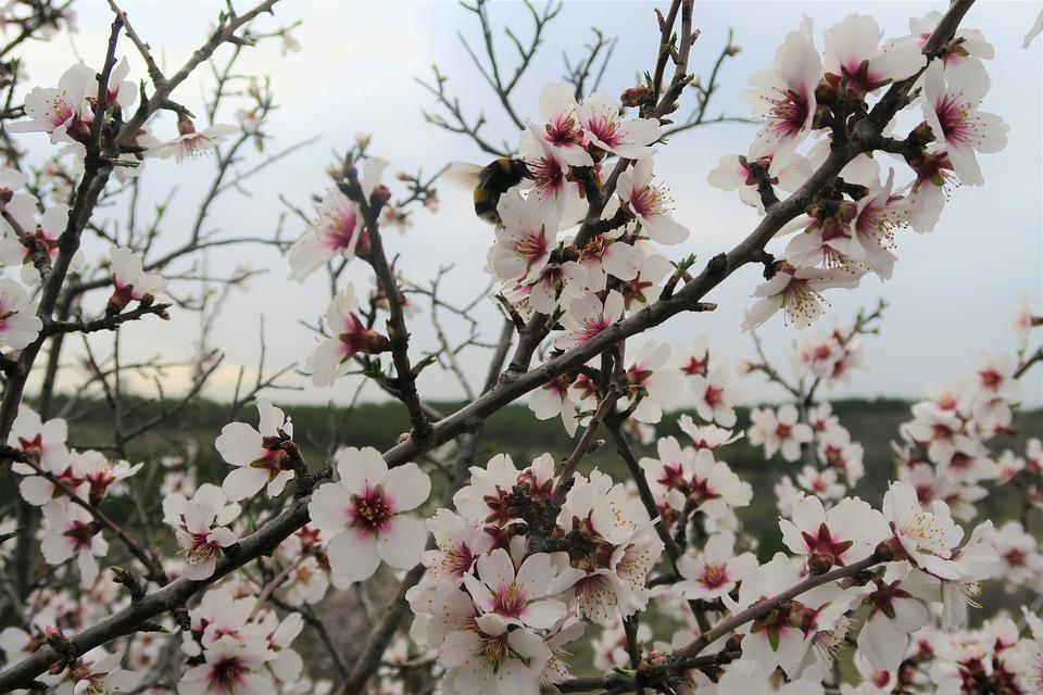 almond tree flower free photo on pixabay