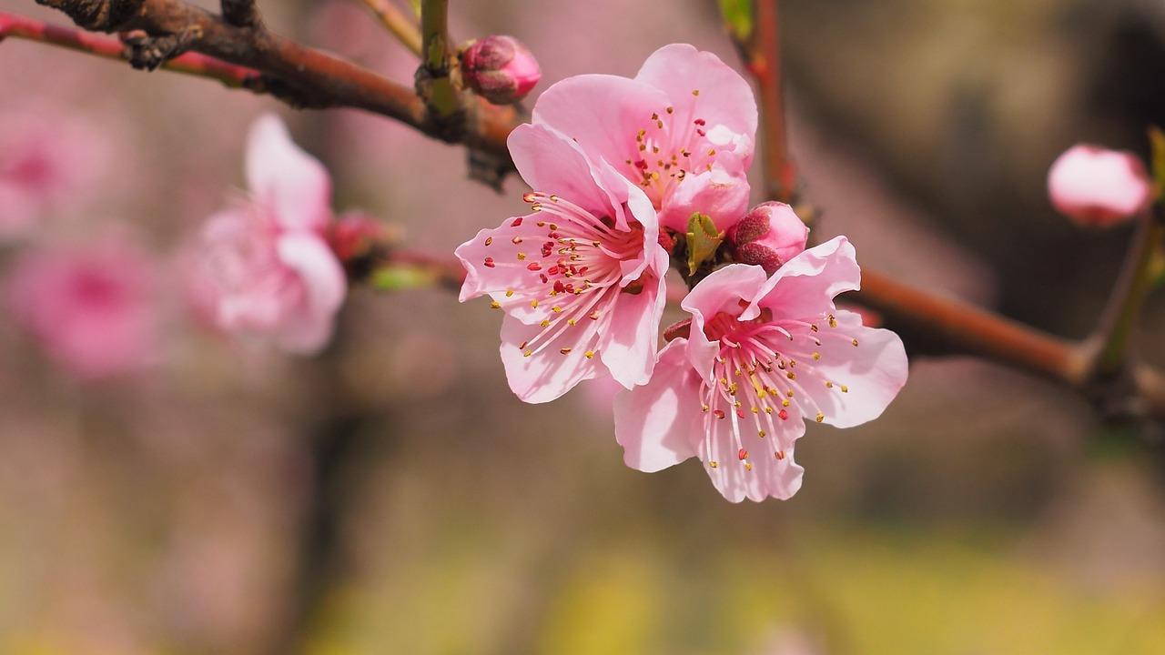 自然, 花, 春, 色, ピンク, 開花ツリー, 桜の花