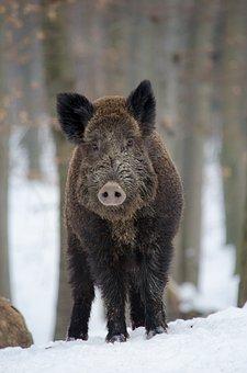 Wildschweine Bilder Pixabay Kostenlose Bilder Herunterladen