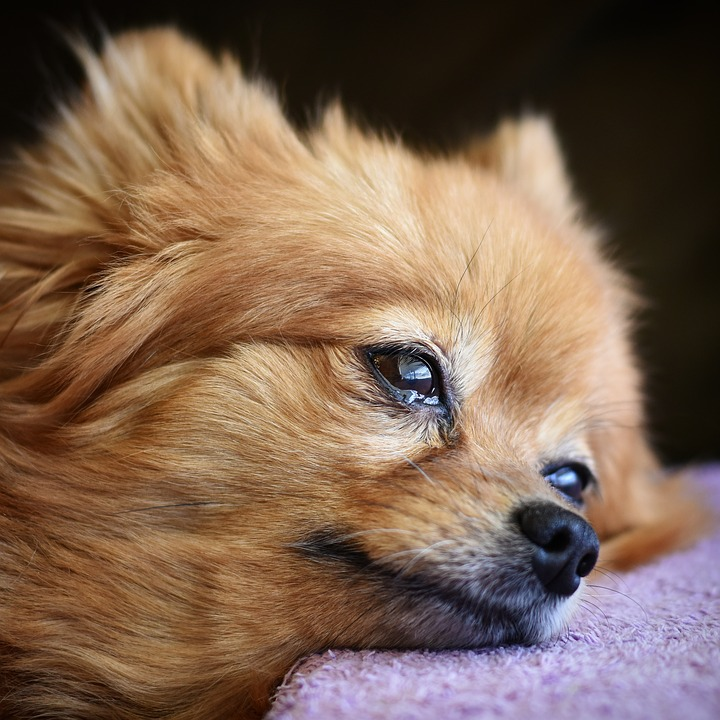 Popular Pomeranian Canine Adorable Dog - dog-3240555_960_720  Gallery_797891  .jpg