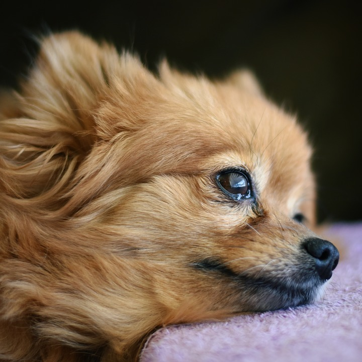 Good Pomeranian Canine Adorable Dog - canine-3240564_960_720  Picture_32562  .jpg