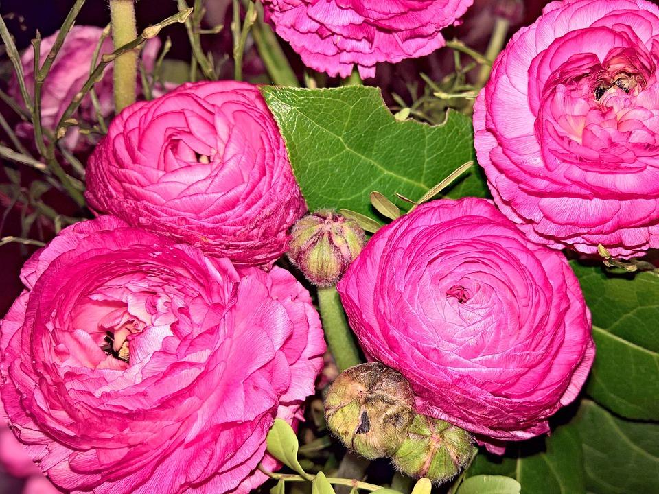 Flowers ranunkeln spring free photo on pixabay flowers ranunkeln spring flowers large flowers pink mightylinksfo