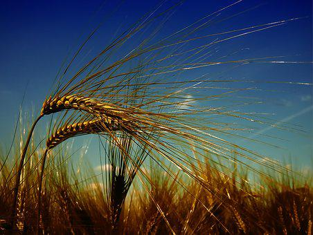 wheat images pixabay download free pictures