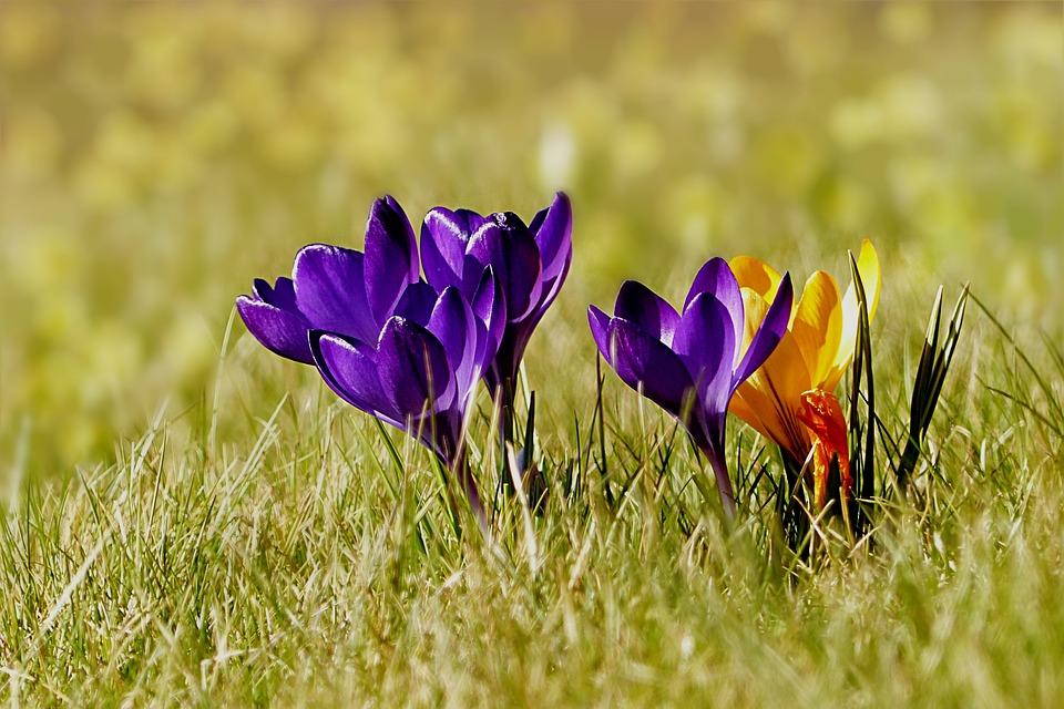 Beliebt Bevorzugt Pflanze Niedrig Krokus - Kostenloses Foto auf Pixabay &CW_84
