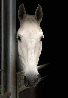 Horse, Head, Portrait, Face, White