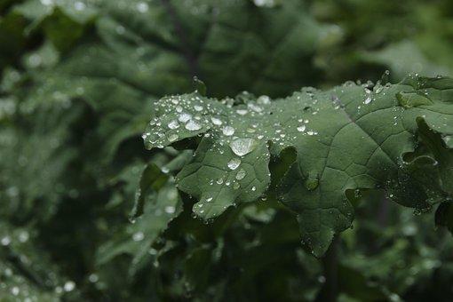 葉, ドロップ, 植物, 自然, 雨, ケール, 春, 新鮮な, 緑, 夏, 水