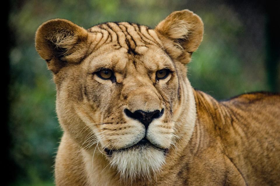 lioness cat big free photo on pixabay