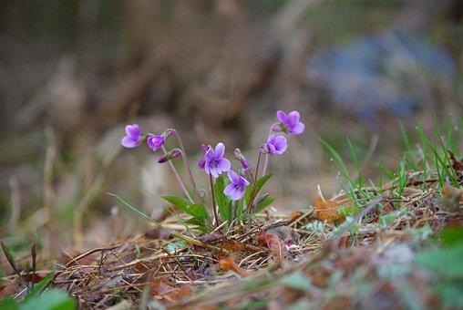자연, 식물, 꽃, 옥외, 야생화, 재비꽃, 들꽃, 산, 들, 야생, 봄