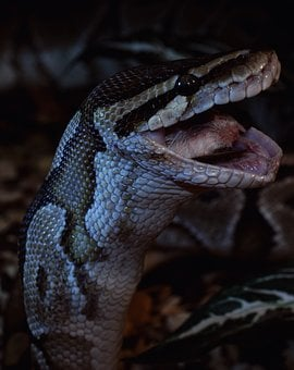 Snake, Prey, Close Up, Ball Python