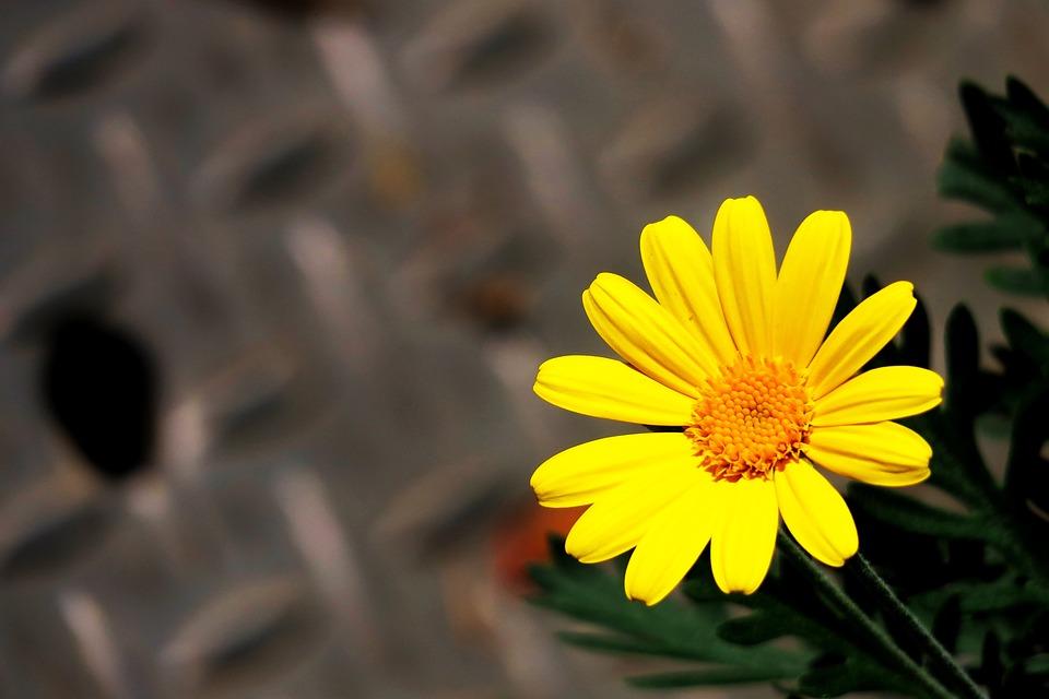 植物, 橘黄, 黄色花, 黄色的花, 黄色, 花朵, 花园, 菊花, 黄花, 春天