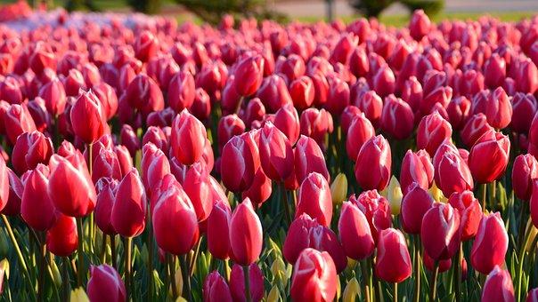 チューリップ, 赤, マクロ, 鮮明な色, 自然, クローズアップ, 春, 工場