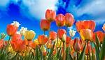 tulipany, czerwony, makro