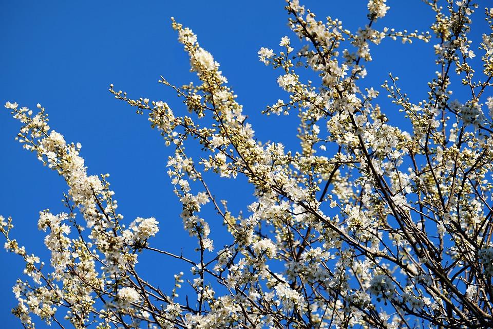 Spring tree blossoms white free photo on pixabay spring tree blossoms tree white flowers flowers mightylinksfo