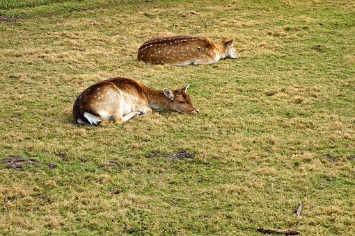 Roe Deer, Fawn, Roe Deer Fawn, Animal