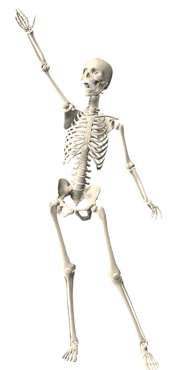 Skeleton Human Anatomy · Free image on Pixabay