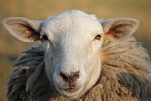 Sheep, Livestock, Head, Winter Wool
