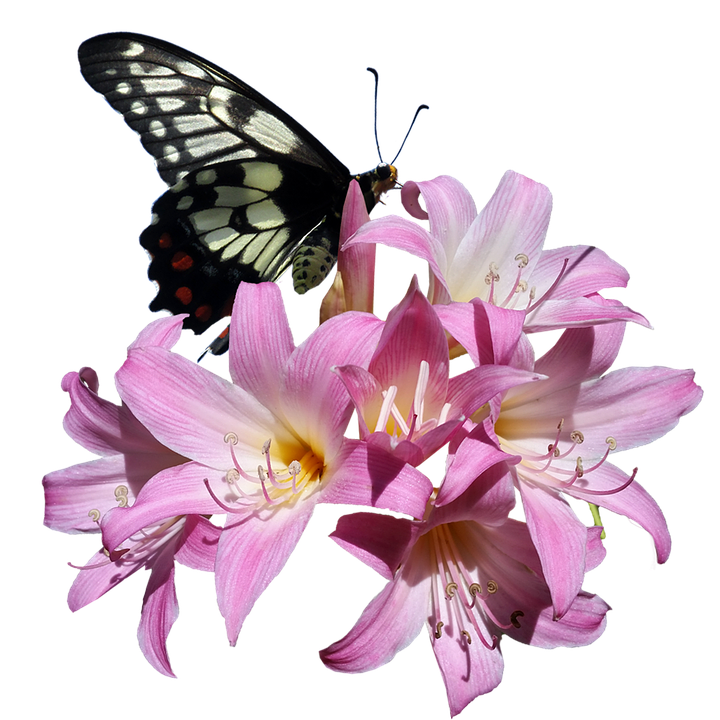 9785c0de9 Butterfly Belladonna Lily - Free photo on Pixabay