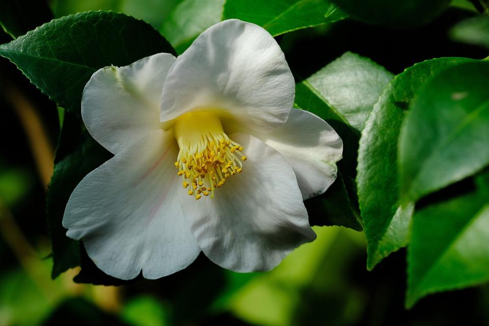 Camellia free photo on pixabay camellia flowers mightylinksfo