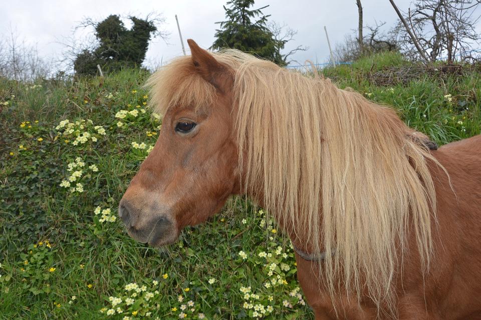Shetland Pony Small Horse Hair Free Photo On Pixabay