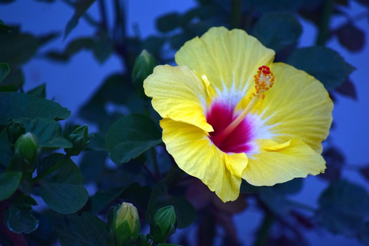 отделка желтый гибискус фото необычного