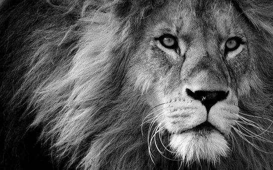 4000 Free Lion Pictures Images In Hd Pixabay Pixabay