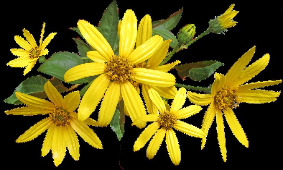 Flowers Jerusalem Artichoke Cut Free Photo On Pixabay
