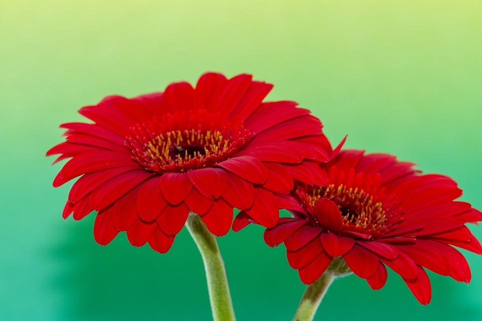 Bunga Herbras Merah Foto Gratis Di Pixabay