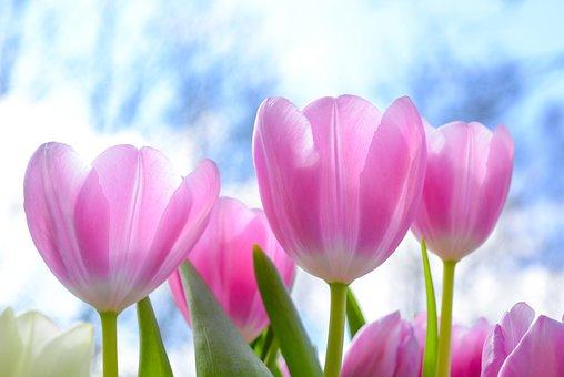 Nature, Tulip, Flora, Flower, Summer