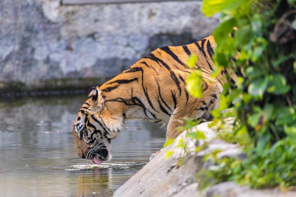 Tiger, Drink, Asian Tiger, Animal World, Cat, Nature
