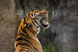 Tiger, Cat, Big Cat, Animal