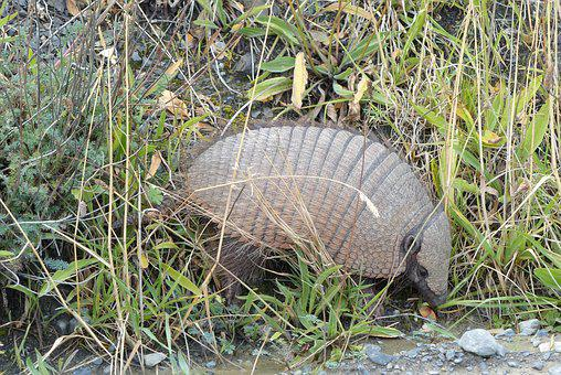 Nature, Grass, Armadillo