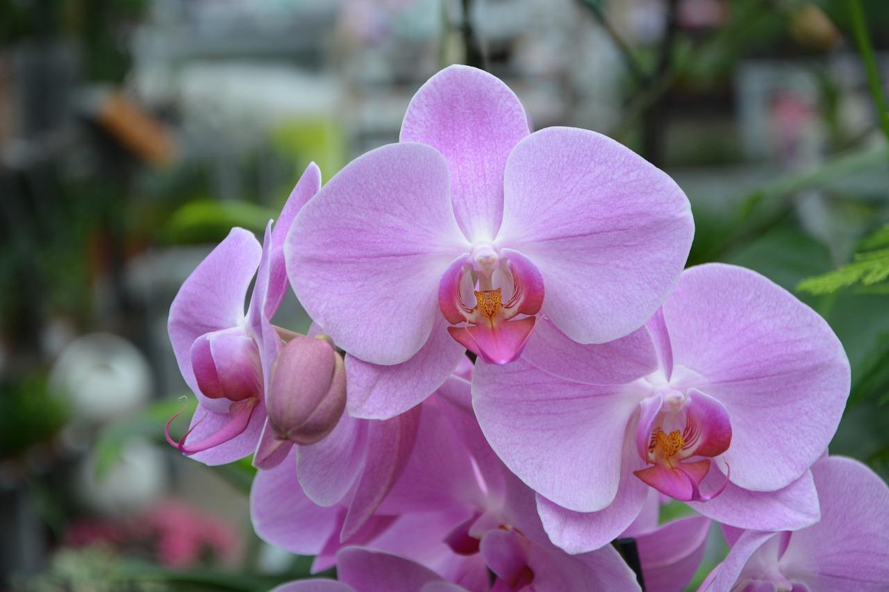 орхидея розовая картинки как героические разведчики