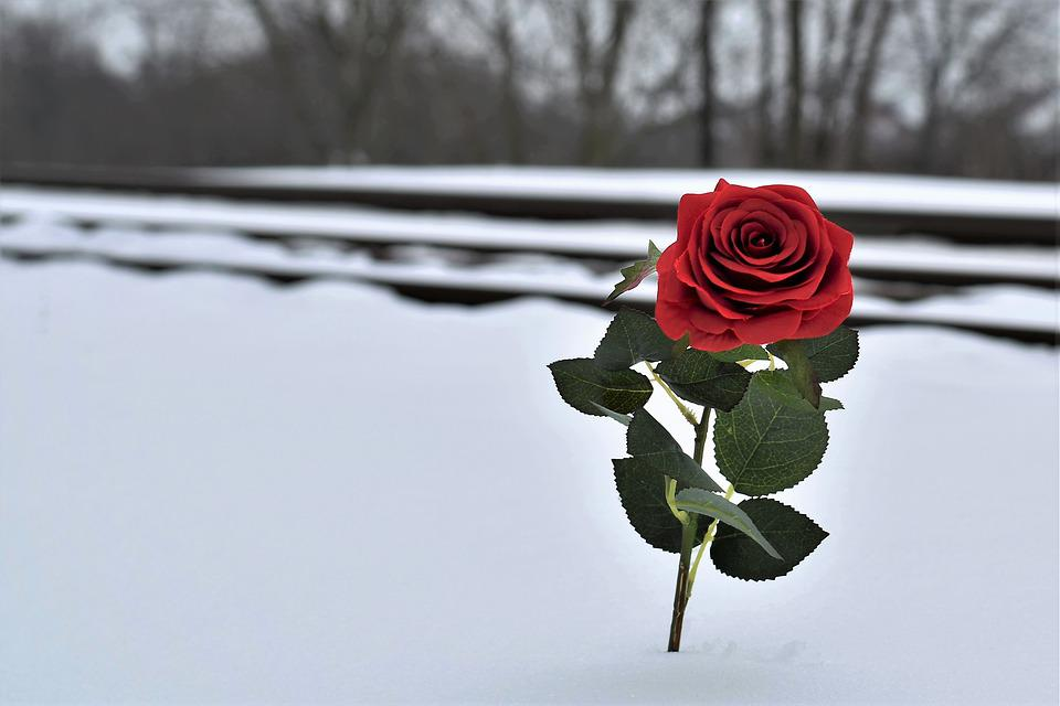 https://cdn.pixabay.com/photo/2018/03/27/19/33/red-rose-in-snow-3267057_960_720.jpg