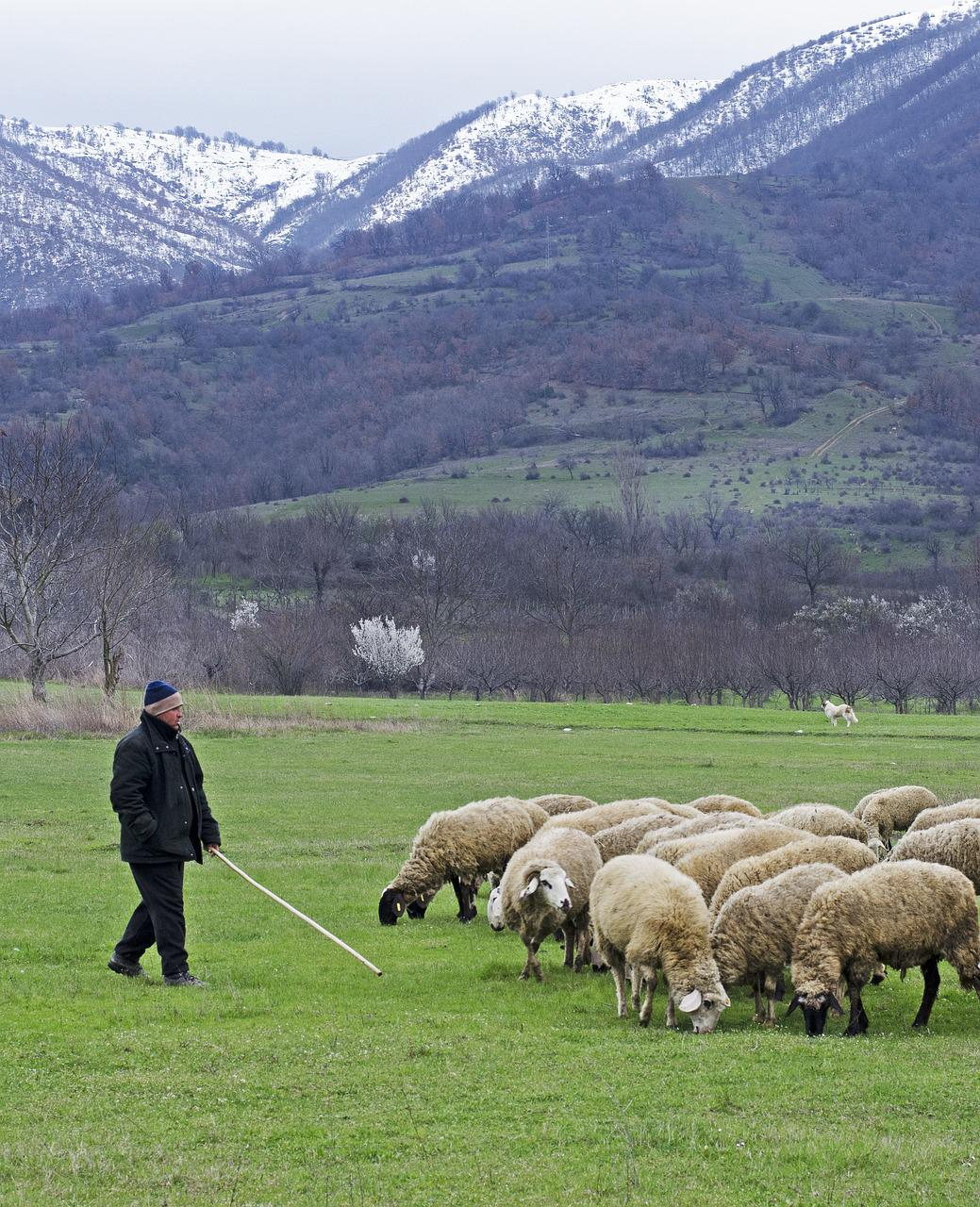 этом году пастух и овцы картинки как