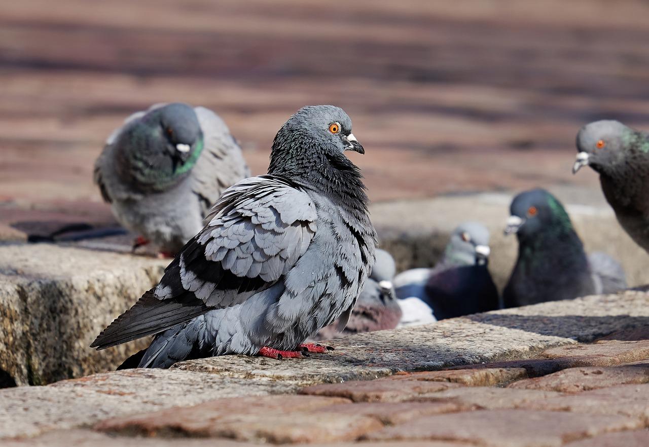pigeons-3268990_1280.jpg