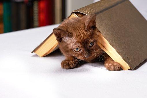 かわいい, 若い, 猫, ホーム, 動物, 子猫, ビルマ, 本, コテージ