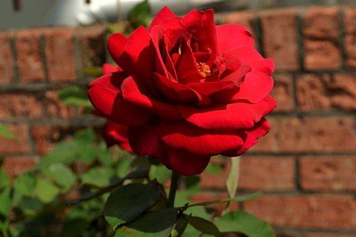 Red, Rose, Flower, Flora, Petal