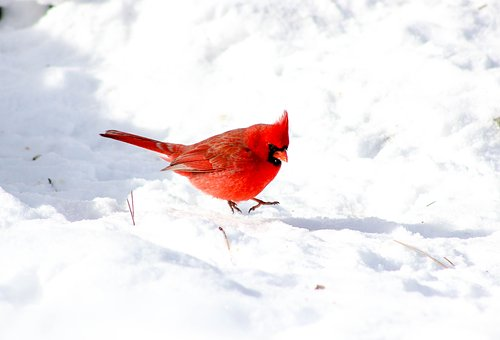 cardinal images pixabay download free pictures