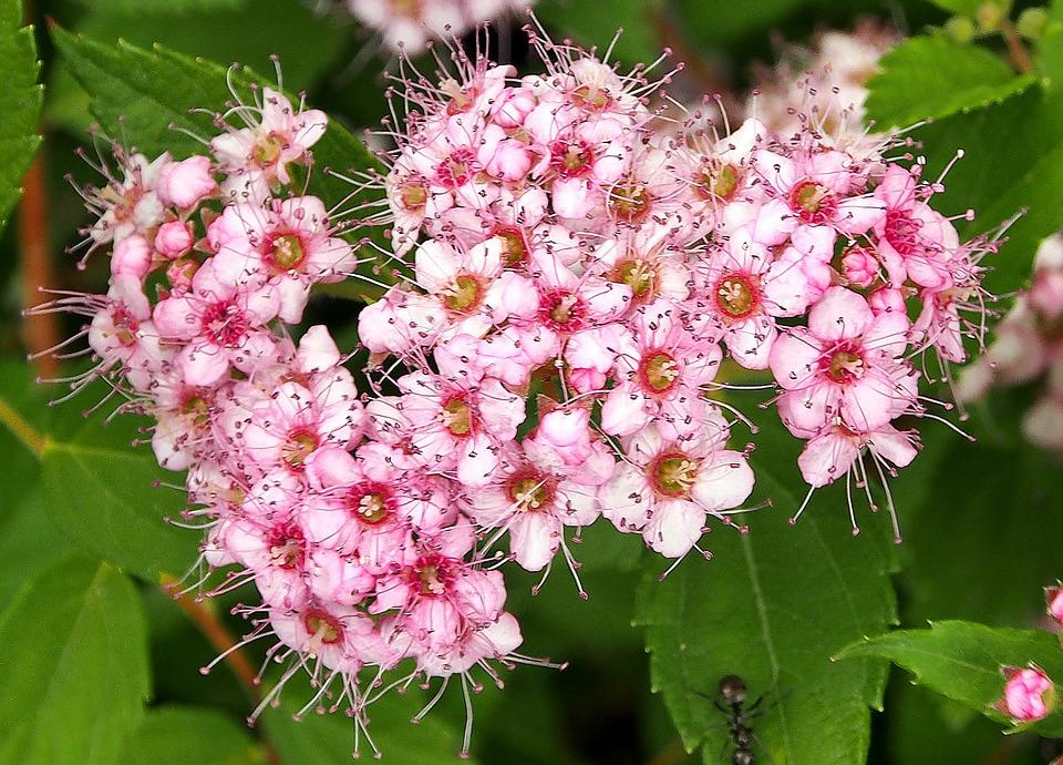 Flowers pink bush delicate free photo on pixabay flowers pink bush delicate flower summer close up mightylinksfo