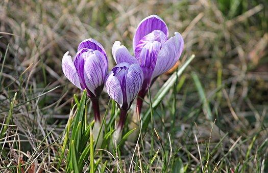 Krokus, Våren, Lenz, Tidig Blunder