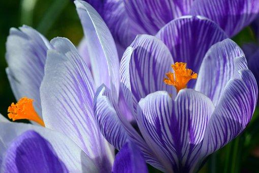 クロッカス, スプリング, 紫, ストライプ, 明るい, 花, スタンプ, 花粉