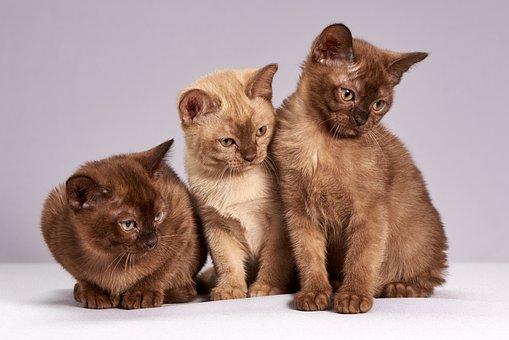 かわいい, 猫, 子猫, 動物, 哺乳類, ペット, ミャンマーの猫, 3