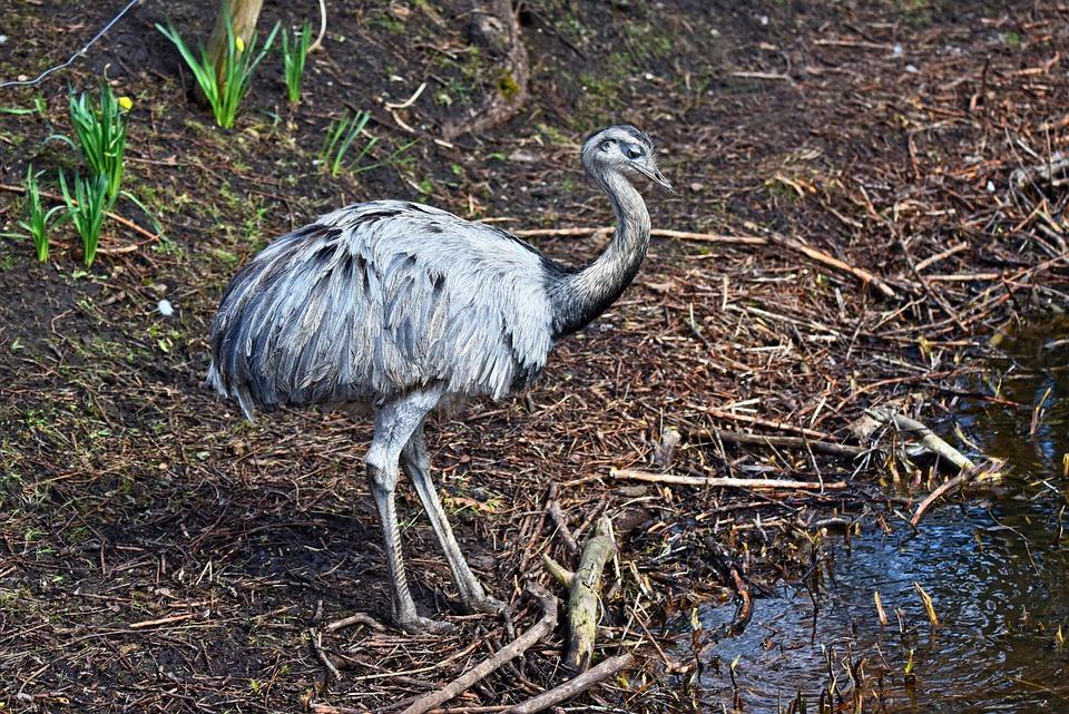 Greater Rhea, Spesies Burung Raksasa yang Terancam Punah karena Manusia