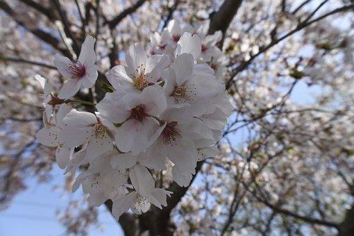 桜, 春の花, 春, 木, チェリー, 花, ブランチ, 季節, 自然, ピンク