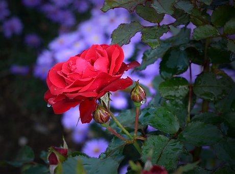 Róża, Kwiat, Charakter, Flory, Roślin