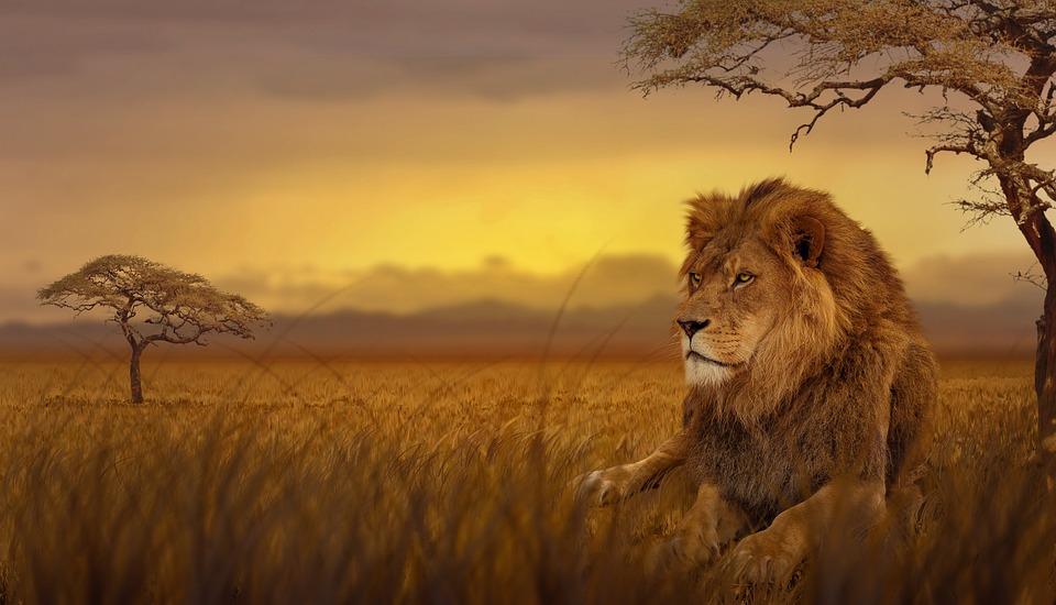 Lion savane nature photo gratuite sur pixabay - Photos de lions gratuites ...