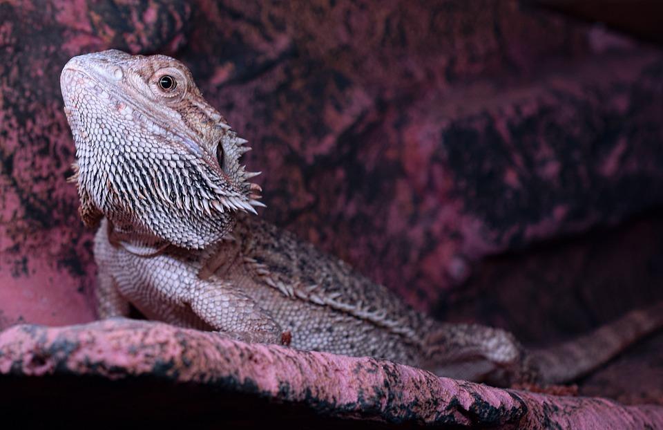 Bartagame, Podnet, Hlava, Pogona Vitticeps, Lizard