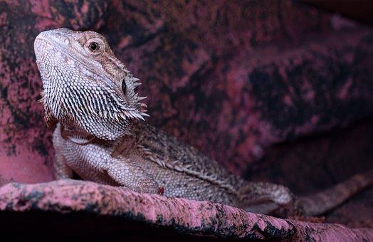 Bearded Dragon, Spur, Head