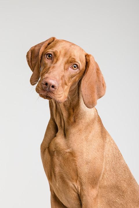 Hund, Dyr, Dog, Pet, Portrett, Brown