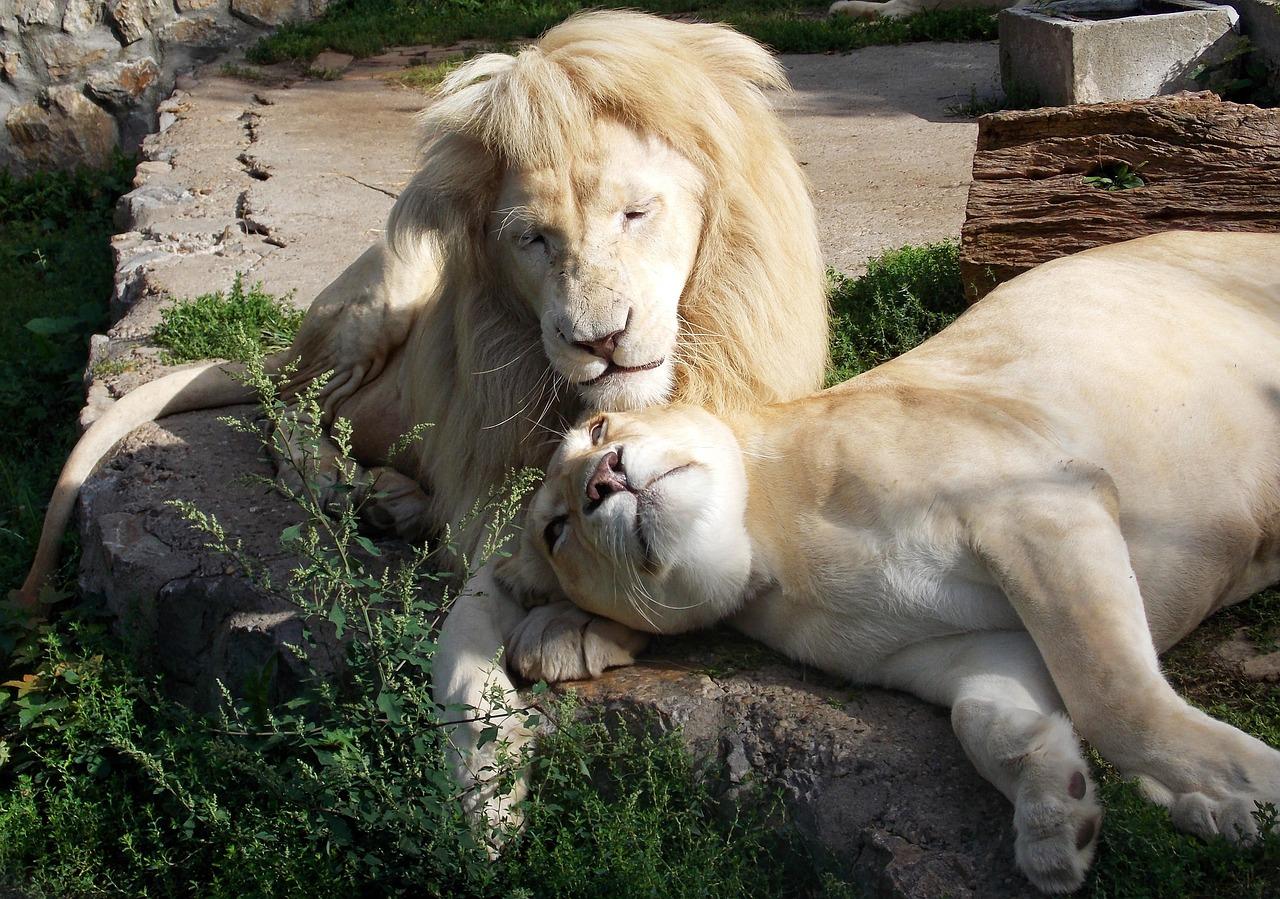 Картинки белые лев и львица